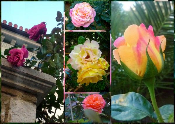 Rose_Fraises